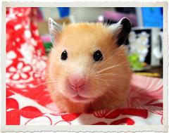 *Birthday Girl Chmurka* (pyza*) Tags: birthday pet girl beauty animal rodent princess critter legendary hamster grumpy syrian chimi hammie loveyouforever chmurka chomik