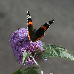 BUTTERFLY, on buddleia. (the water watcher 05.) Tags: red white black green butterfly scotland purple butterflies redadmiral canoneos300d butterflybush dumfriesandgalloway buddliea vanessaatalanta dumfriesshire langholm redadmiralbutterfly billycurrie bbng