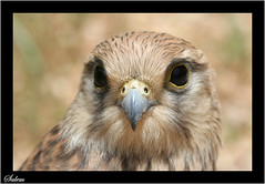 Falcon (Salem_photos) Tags: life detail macro bird up fly close desert hunting feather east arab falcon saudi arabia arabian middle hunt                 arab  bedwien gettyimagesmeandafrica1