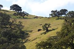 Magic forest (Håkan Dahlström) Tags: california usa tree verde green nature forest landscape groen unitedstates united hill vert states grün sanfelipe grön grn