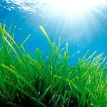 Ibiza: Posidonia oceánica - en los fondos marinos entre las islas de Ibiza y Formentera