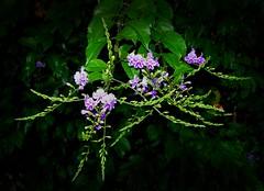 Una siepe spettinata (.。.:*・゜☆ ЭЅТЄЯ ☆゜・*:.。.) Tags: flowers italy verde green leaves foglie italia purple violet lilac fiori palermo fiore viola sicilia mondello violetto fiorellini