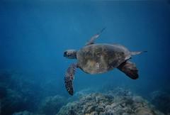 Green Sea Turtle (Chelonia mydas) (antonsrkn) Tags: ocean life wild nature hawaii marine underwater turtle reptile endangered herp cheloniamydas chelonia iucn iucnredlist