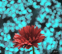 Superstar!!!! (Tomasito.!) Tags: blue red flower love nature circle nikon dof power bokeh turquoise philippines cyan frame round superstar tomasito d90 strobist nikond90