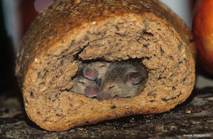Foto de 3 ratones durmiendo dentro de un pan