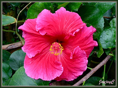 Hibiscus rosa-sinensis 'Christopher Howie' in cardinal red or rose red, at the Cactus Valley in Cameron Highlands, July 12 2009
