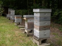 Ruches avant rcolte - Hive (Ong-Mat) Tags: insect cell super bee abelha honey miel abeja hive beehive bi abeille bij abeilles insecte entomologie biene entomology ruche apis mellifera honigbiene zoologie honingbij apiculture hausse rucher honungsbi framesofhoneycomb