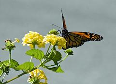 DSC_6811 (pnther60) Tags: backyard floraandfauna