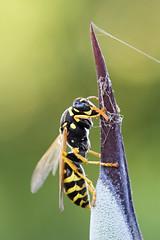 Cliffhanger (kaibara87) Tags: macro nature animal animals closeup garden insect wasp insects 100mm cliffhanger  arzergrande macrophotosnolimits macrosdenaturaleza greatshotss