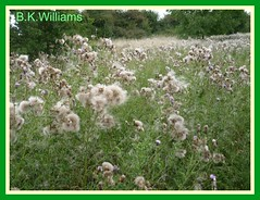 "Loads of ""fluffys"" (WebBev47 (deleting )) Tags: friends green thistle meadows fluffy seeds creeping"