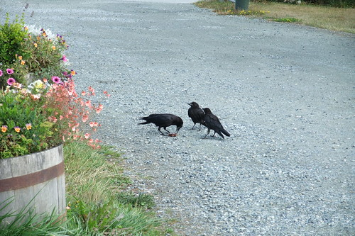 theiving crows