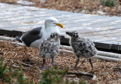 seagull and chicks