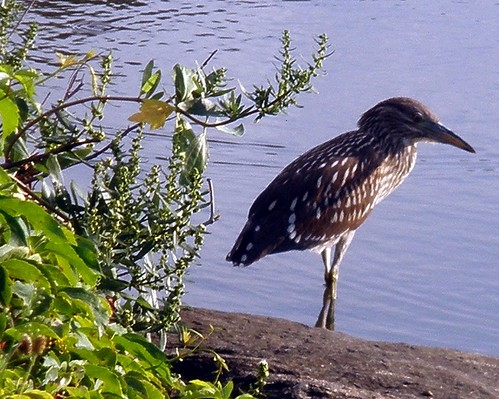 night heron standing on a rock