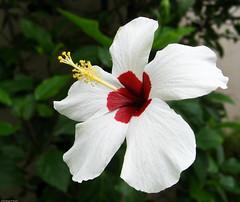 Hibiscus (White) (dbgg1979) Tags: hibiscus gumamela hibiscuswonder flowersincebucity