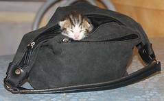 [フリー画像] [動物写真] [哺乳類] [ネコ科] [猫/ネコ] [子猫] [寝顔/寝相/寝姿] [鞄/バッグ]    [フリー素材]