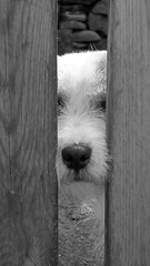 SAY HELLO TO PICKLE... (Neal.) Tags: wood hairy dog white black woof fence scotland peekaboo hound wave bark bone sniff pickle wetnose sayhello niffty clanflickr