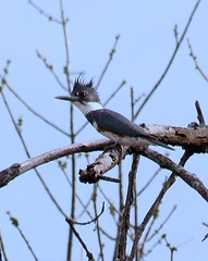 Kingfisher (Music Man II) Tags: blue tree bird fauna kingfisher mygearandme