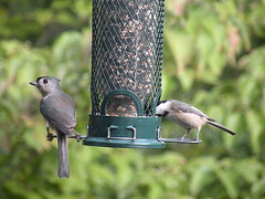 Tufted titmouse and Eastern chickadee (L. Lionne) Tags: birds chickadee titmouse tufted