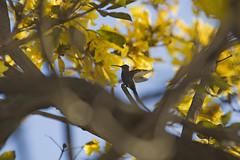 De braços abertos (Robson HNC) Tags: brazil flores flower bird nature birds animals brasil canon natureza sigma pássaro aves animais árvore 70200 beijaflor maringá 40d