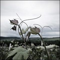 Bacchus (• CHRISTIAN •) Tags: nature leaves dark wine vine sombre québec bacchus vin warwick grape vigne raisin feuilles carré beauce desatureated désaturé