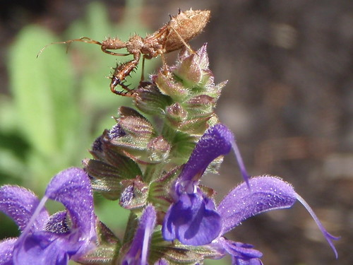 Spiny legged assassin bug nymph