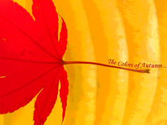 The Colors of Autumn... (njk1951) Tags: red fall yellow maple mapleleaf fade hosta brilliant brilliantcolors fadeaway colorsofautumn hostaleaf autumnseason artlegacy seasonofcolor soonfade