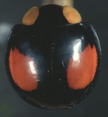 18  6282 -840002 -640 (h35312) Tags: 18  640 coleoptera swartz coccinellidae 6282  lemnia 840002     biglagiata