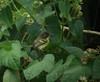 Phylloscartes flaviventrisVE1 (barbetboy) Tags: fbwnewbird fbwadded phylloscartesflaviventris