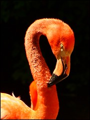 Flamingo (sara-maria) Tags: pink orange bird eye neck munich mnchen zoo flamingo bent curved auge phoenicopterusruber pecker vogel schnabel hals americanflamingo tierparkhellabrunn gebogen natureselegantshots