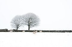 Winter Has Arrived in Digley (GaryJS ) Tags: park trees winter england snow cold west wall nikon sheep district yorkshire peak minimal national gb minimalist holmfirth drystone huddersfield digley d90 kirklees garyjs wwwgaryjsphotographycouk
