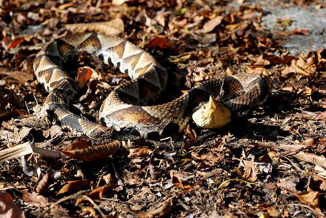 百步蛇2009-24