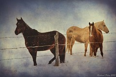 Horses (Richard Pilon) Tags: winter horses horse snow texture beautiful field rural textures impressedbeauty updatecollection
