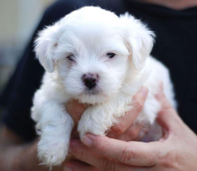 Maltese_puppy_portrait