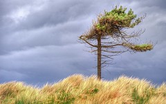A wind ravaged pine hdr (bobbrooky) Tags: tree pine sand nikon wind dunes scenic images naturereserve nationaltrust hdr sanddunes merseyside formby marramgrass freshfield photomatix tonemapped d700 capturenx2