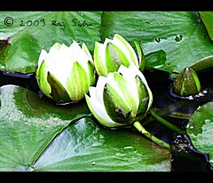 Water Lilly (onesuger) Tags: uk england white black flower green water dark botanical pond cornwall waterlily lily lilies jungle botanicalgarden waterlillies heligan mevagissey lostgarden lostgardenofheligan cornishriveria