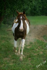 The Only Girl (chevy04) Tags: horse kentucky painthorse