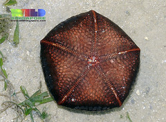 Cushion star (Culcita novaeguineae) (wildsingapore) Tags: nature island marine singapore underwater wildlife coastal shore intertidal seashore marinelife wildsingapore cyrene culcita novaeguineae echinodermata asteroidea taxonomy:binomial=culcitanovaeguineae taxonomy:family=oreasteridae