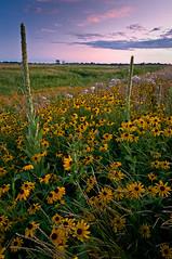 Wildflower Sunset (baldwinm16) Tags: sunset summer nature yellow illinois scenic wildflowers prairie naperville blackeyedsusan springbrook mulleins springbrookprairie springbrookprairieforestpreserve illinoisfoestpreserve