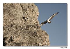 Osprey at Currumbin Rock - 42/365 (David Lee AUS) Tags: bird nature rock canon osprey currumbin seahawk project365 42365 40d canonef70200f4nonis