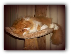 Toby (iwork4toby) Tags: red pet cat persian midwest persiancat redpersian luv2explore