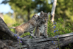 Telling Secrets (Megan Lorenz) Tags: baby nature closeup outdoors feline funny montana whispering looking unitedstates wildlife humor young kittens canadian getty northamerica curious bobcat predator wildcat secrets alert kalispell carnivore wildanimals gettyimage gamefarm blurredbackground tripled controlledsituation meganlorenz vosplusbellesphotos mlorenzphotography