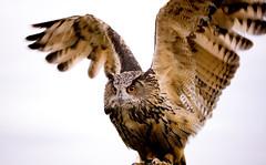 [フリー画像] [動物写真] [鳥類] [猛禽類] [梟/フクロウ] [アフリカワシミミズク]      [フリー素材]