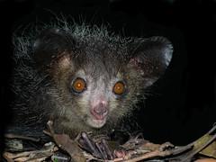 Aye-aye (Daubentonia madagascariensis), Tsimbazaza Zoo, Madagascar