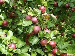 P9111176 (Arbustine) Tags: apple pommes arbre pomme