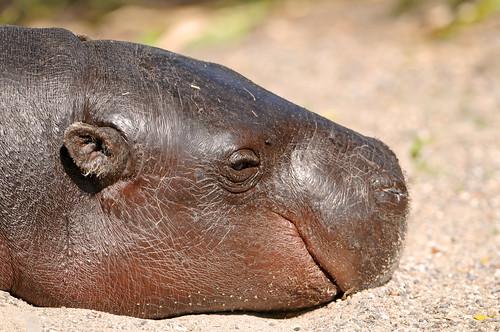 フリー画像| 動物写真| 哺乳類| 河馬/カバ| 子カバ|       フリー素材|