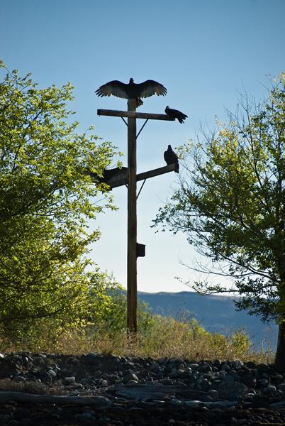 Turkey Vultures sunning on Cassimir Bar