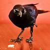 McGee (Thomas Hawk) Tags: red bird 10 fav10 gettyartistpicksoct09