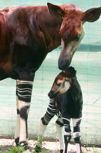 baby okapi, mother licking the top of its head