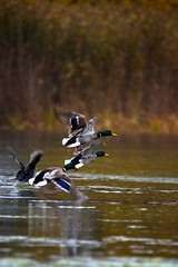 Mallards in flight (Trond Strmme) Tags: bird fall rain flight mallard anasplatyrhynchos sothne fulicaatra stokkand eurasiancoot stensjvannet sigma100300f4exdghsm sigmaapoteleconverter14xexdg