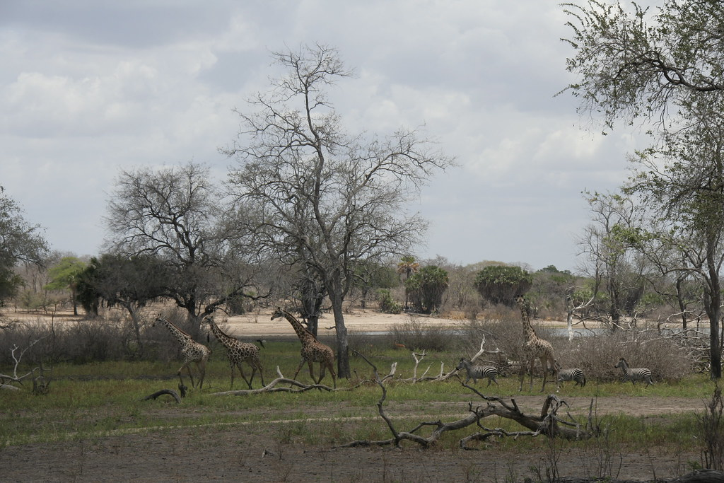 Giraffes in the woodlands - Selous Game Reserve, Tanzania